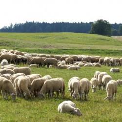 Schafe der Schäfer Fauser